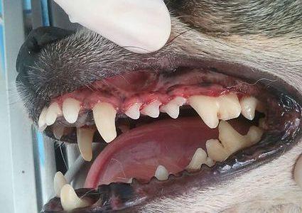 especialidades - odontología veterinaria
